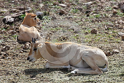 Scimitar Horned Oryx Calves