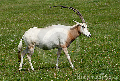 Scimitar Horned Oryx with magnificent horns