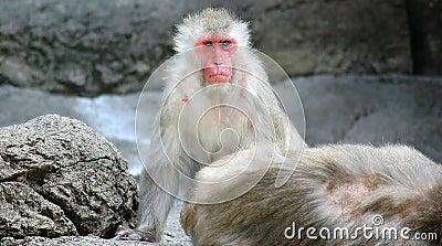Scimmia della neve
