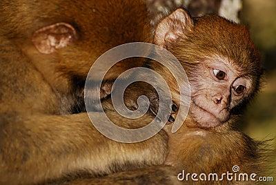 Scimmia di Barbary (sylvanus del Macaca) in legno del cedro vicino