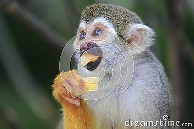 Scimmia scoiattolo 4