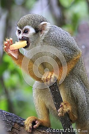 Scimmia scoiattolo 7