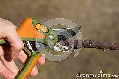 Scissors garden is cutting tree