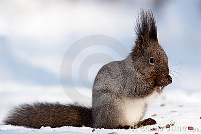 Sciurus vulgaris, Red squirrel Eurasian