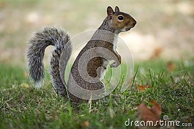 scoiattolo curioso