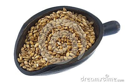 Scoop of hulled barley grain