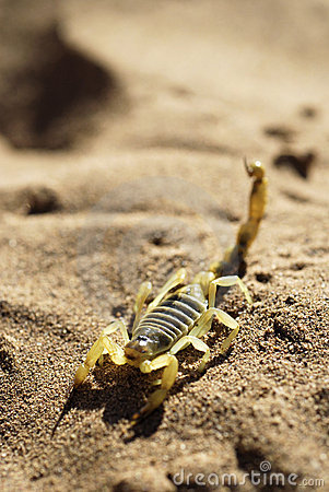 Scorpion On Desert Sand Stock Image - Image: 2427261