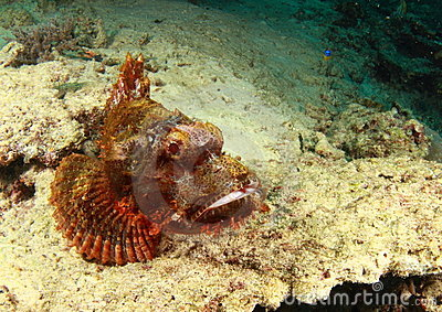 Scorpion fish having a rest