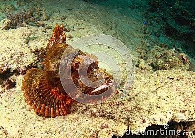 Scorpion fish having a rest