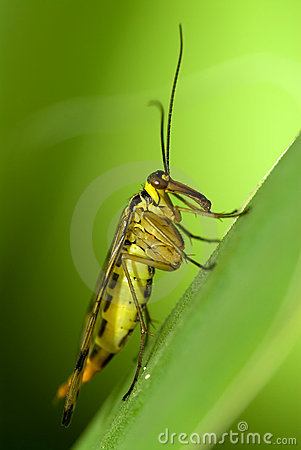 Free Scorpion Fly Stock Images - 3921904