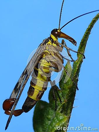 Free Scorpion Fly Royalty Free Stock Photo - 4073495