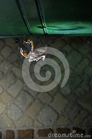 Free Scorpion In A Spider`s Web Royalty Free Stock Photography - 84069767