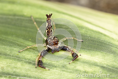 Scorpion Mimic Jumping Spider in defensive mode
