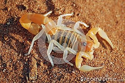 Scorpion, Nambia desert