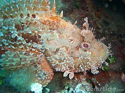 Scorpionfish in Mediterranean Sea