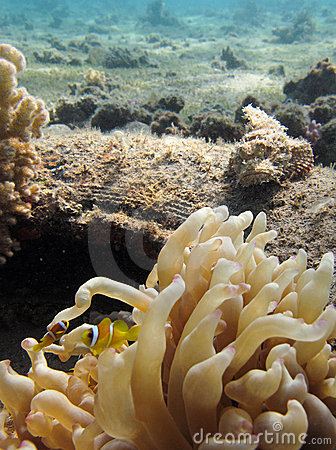 Scorpionfish watching Anemonefish