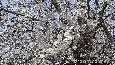 Scosso dai rami di albero sboccianti del vento con i fiori della molla Videoripresa Movimento lento stock footage