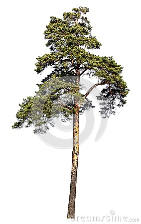 Free Scotch Pine Tree. Isolated On White Background Stock Images - 115352184