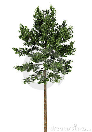 Scots pine tree isolated on white