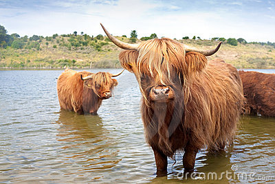 Scottisch highland cow