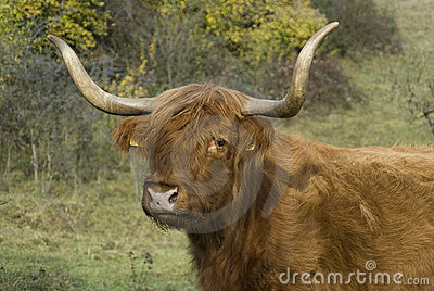 Scottish cattle