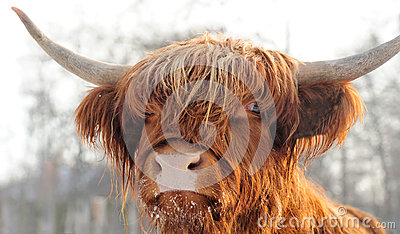 Scottish cattle