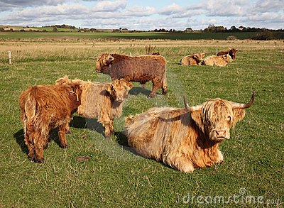 Scottish Cattle in a Green Pasture
