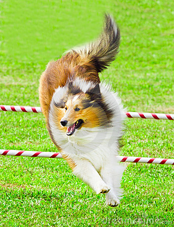 Scottish Collie Jumping in Agility Competition