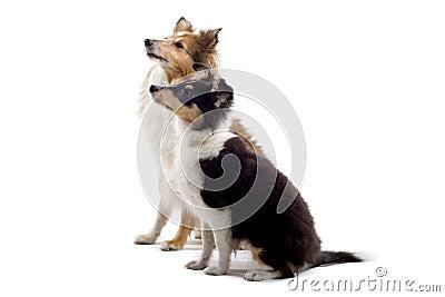 Scottish collie puppy dog