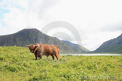 Scottish cow in Lofoten