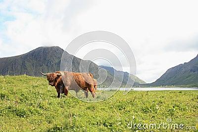 Scottish cow in Lofoten