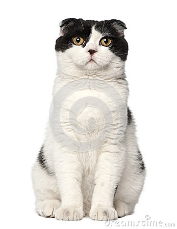 Scottish Fold, 6 months old, sitting