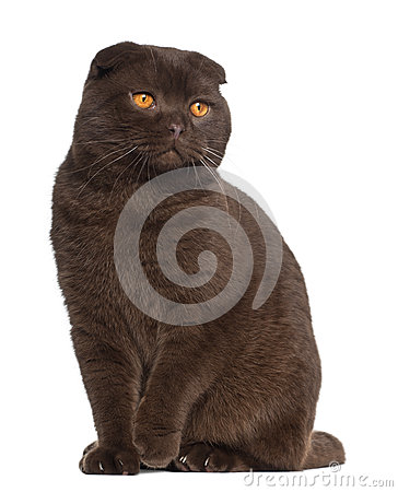 Scottish Fold cat, 1 year old, sitting