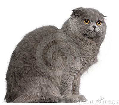 Scottish Fold cat, 11 months old