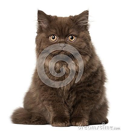 Scottish Fold cat, 18 months old, sitting