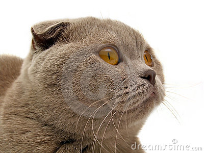 The Scottish-fold cat