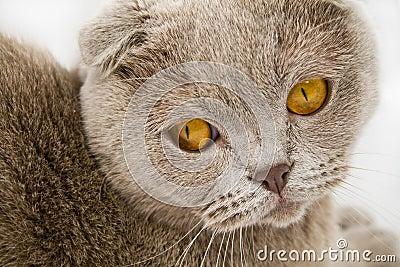 The Scottish-fold cat