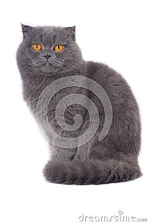 Free Scottish Fold Cat Stock Photography - 4019892