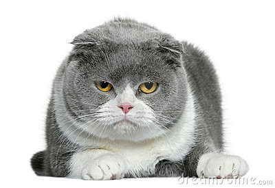 Scottish fold cat, 5 years old, lying