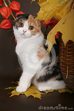 Scottish fold cat with leaves