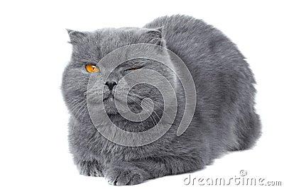 Scottish fold cat wink