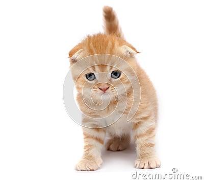 Free Scottish Fold Cats Stock Images - 8433124