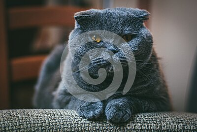 Scottish fold gray cat with orange eyes lays on chair alone and bored. Stay at home coronavirus covid-19 quarantine. Concept royalty free stock photo