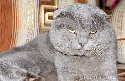 Scottish fold grey cat
