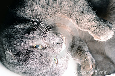 Scottish fold grey cat looking up