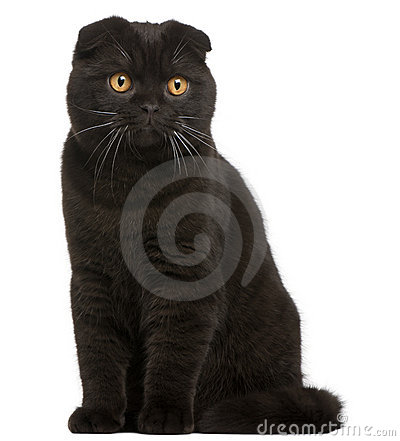 Free Scottish Fold Kitten Stock Photo - 18444580