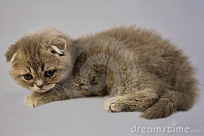 Scottish Fold Kitten Royalty Free Stock Image - Image: 22552956