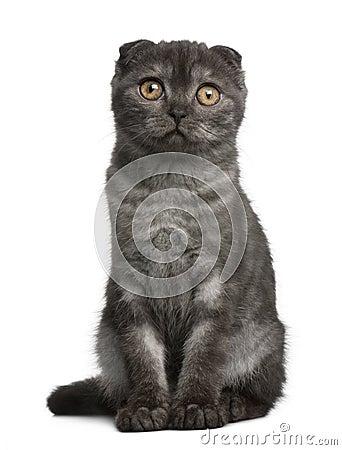Scottish Fold Kitten, 3 months old, sitting