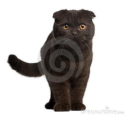 Scottish Fold Kitten, 4 months old, standing