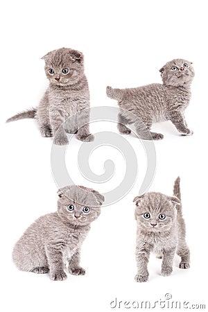 Free Scottish Fold Kitten Stock Images - 4014624